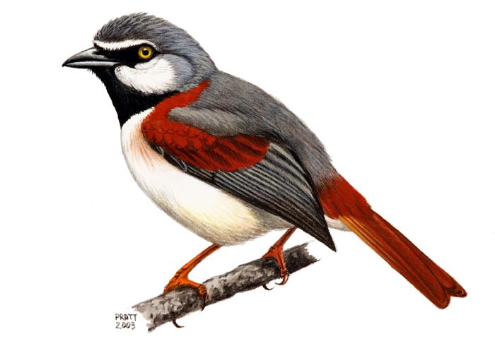 カタアカオオハシモズ(red-shouldered vanga)