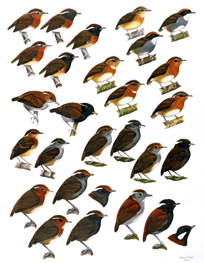 "published in the book ""Handbook of the Birds of the World, Volume 8"""